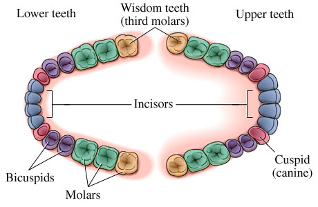 Name of Teeth Diagram http://blog.rankmydentist.com/removing-your-wisdom-teeth/